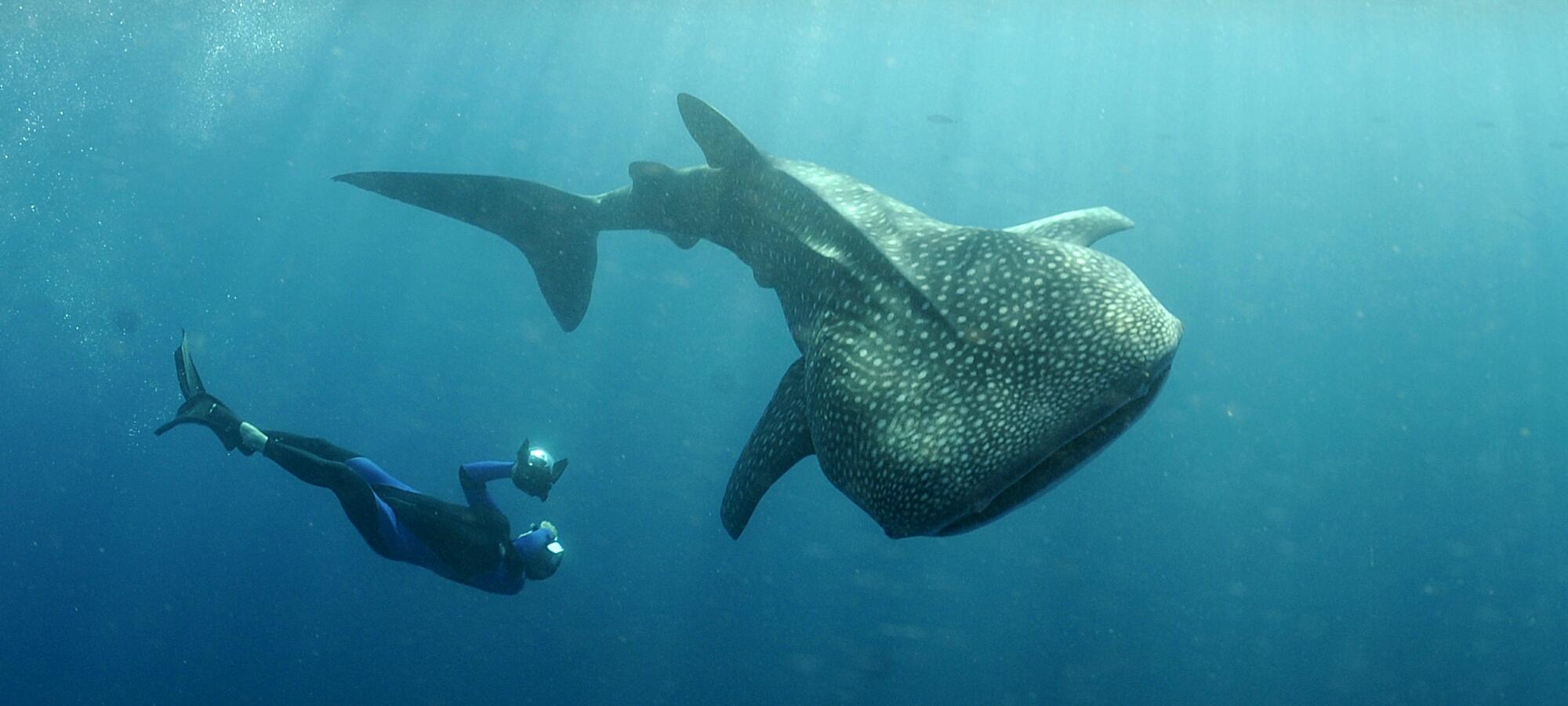 Husain Al Qallaf – Megaptera V2 - Pose d'une balise sur un requin-baleine grâce au crowdfunding