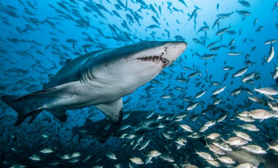 Requin taureau © DR