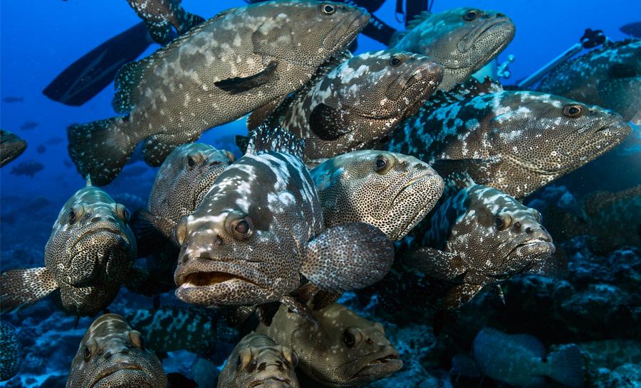 mérous marbrés rassemblés © - Laurent Ballesta / www.andromede-ocean.com / www.blancpain-ocean-commitment.com