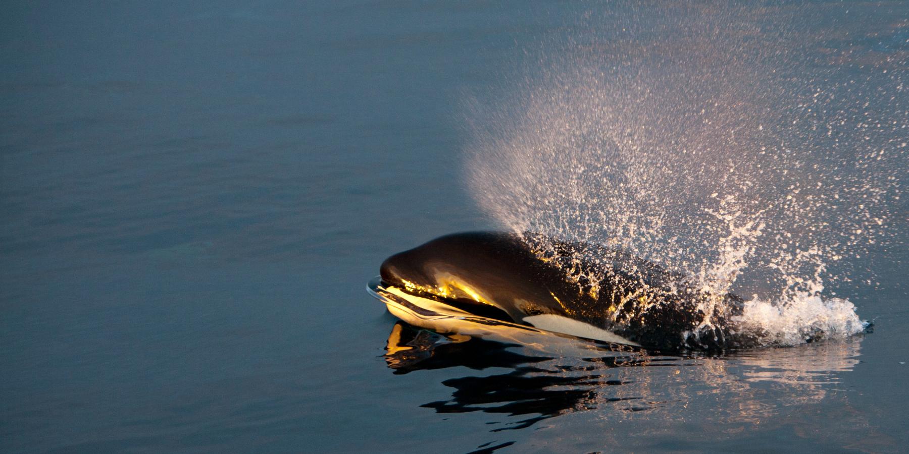 orque norvege PierreRobertdeLatour 1800x900 - 'Les orques, esprits de la mer', une émouvante BD