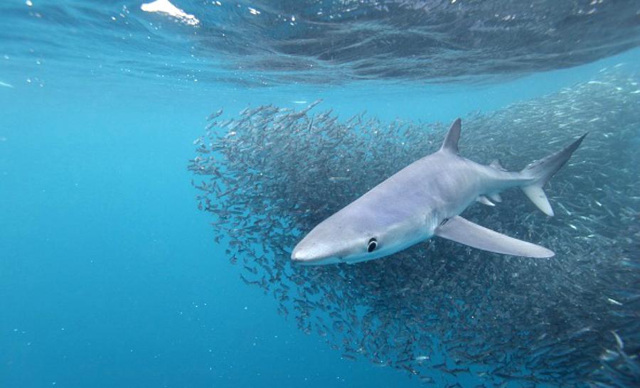 Requin bleu (Prionace glauca), en train de chasser dans un banc d'anchois, Cape Point, Afrique du Sud. © Alessandro De Maddalena