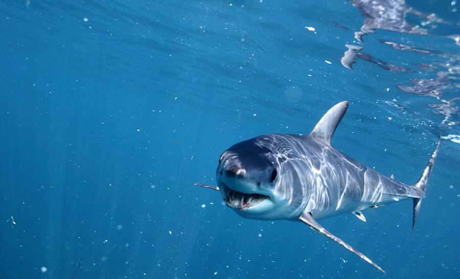 Requin mako (Isurus oxyrinchus), Cape Point, Afrique du Sud. © Alessandro De Maddalena