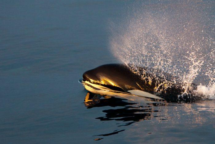 souffle d orque a la surface Pierre ROBERT de LATOUR président dOrques Sans Frontières 700x470 - FMISM 2015 : Eduardo Acevedo, plongeur d'argent dans la catégorie portfolio