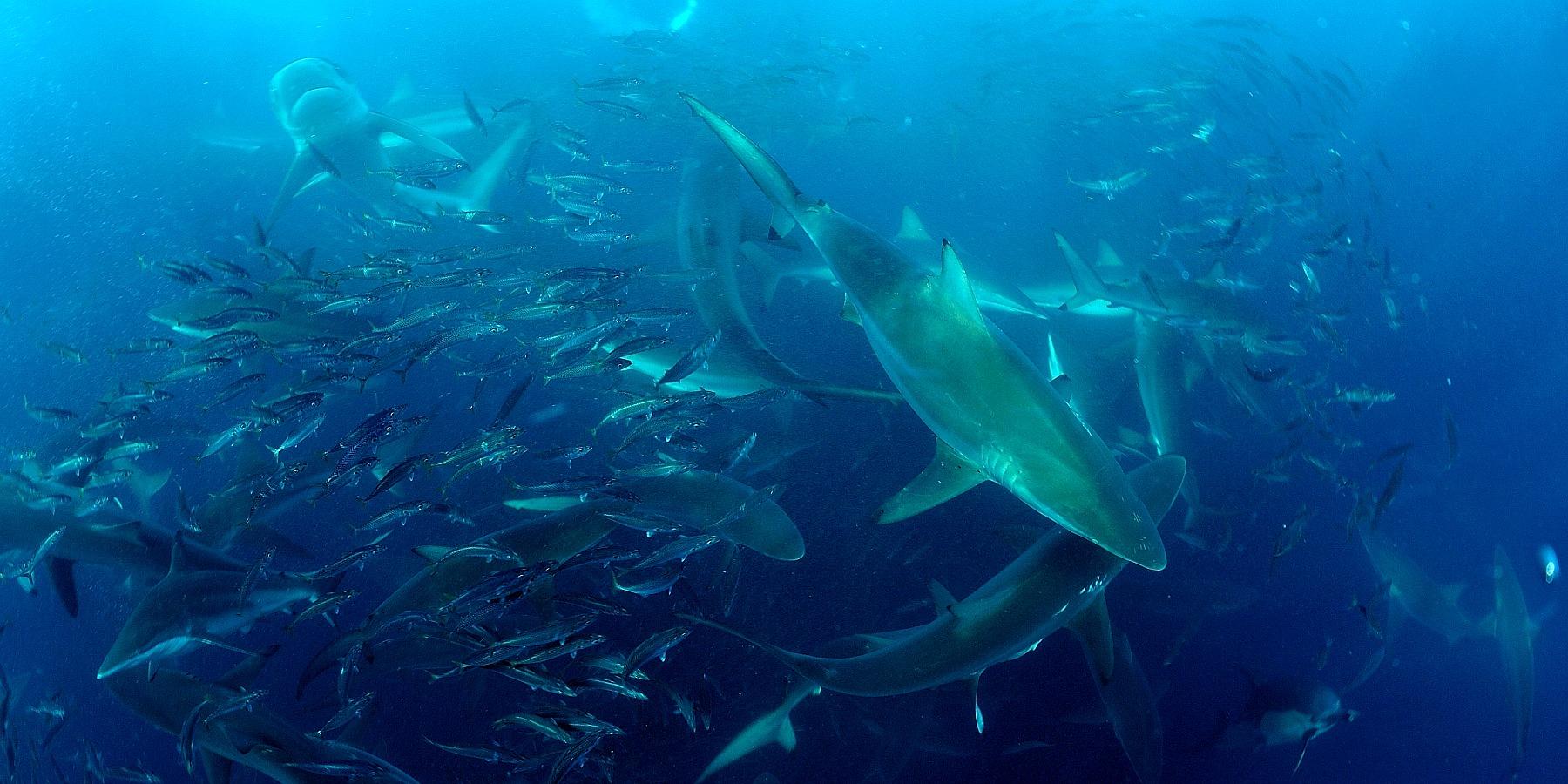 Abyssworld ©Ludovic Savariello 17 - Afrique du Sud : cap sur le sardine run !