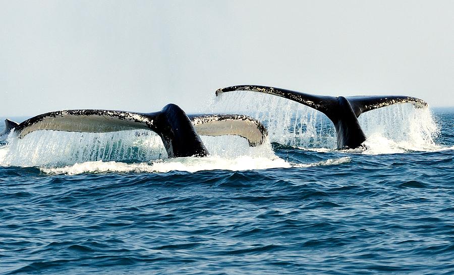 Le spectacle des baleines à bosse en surface. © Ludovic Savariello