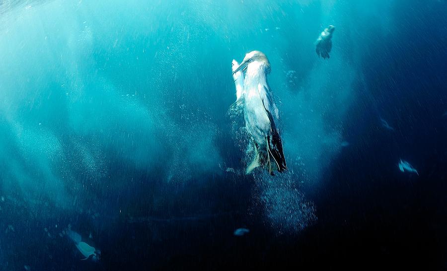 Les fous du Cap sont d'excellents nageurs lorsqu'il s'agit d'attraper une sardine ! ©Ludovic Savariello