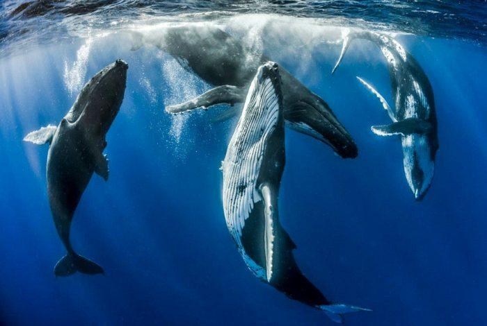 1 Categorie Duo Mer   Fabien Michenet   Parade amoureuse baleines à bosse 900x580 700x470 - Plein succès pour la 14ème édition de Festisub !