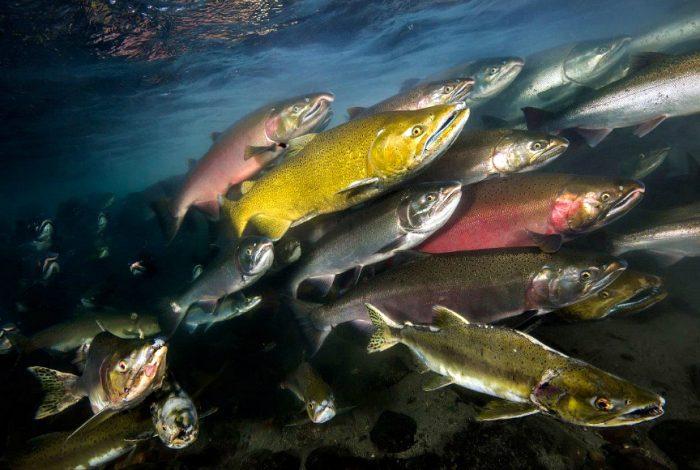 2 Categorie Eau Douce David Salvatori Campbell River Colombie Britannique 900x580 700x470 - Plein succès pour la 14ème édition de Festisub !