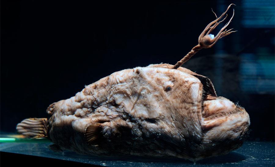 Baudroie « Poisson football » (Himantolophus groenlandicus) avec son leurre bioluminescent au bout de l'appendice frontal. 45 cm. © museum Alain Germond