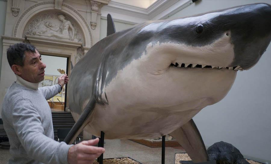 Le plus grand requin blanc jamais naturalisé, conservé au Musée de Lausanne (Suisse), a été capturé au large de Sète en Méditerranée © Stéphane Granzotto