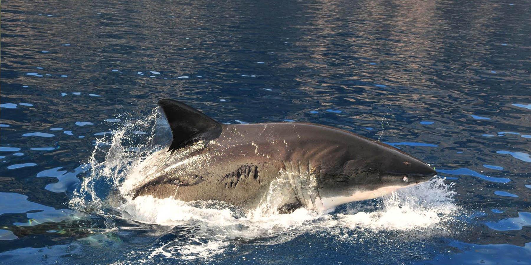 1REQUINS SHARKS Photo04 - Télé : 'Méditerranée, le royaume perdu des requins', rediffusion le 26 juin sur France 2