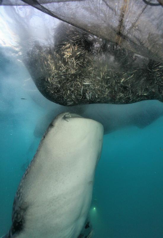 Un requin-baleine profite de la pêche en tétant goulument le filet. © IRD / Gilles di Raimondo