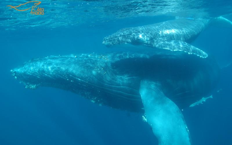Les baleines à bosse apprécient les eaux chaudes des côtes de Saint Marie ©Cétamada