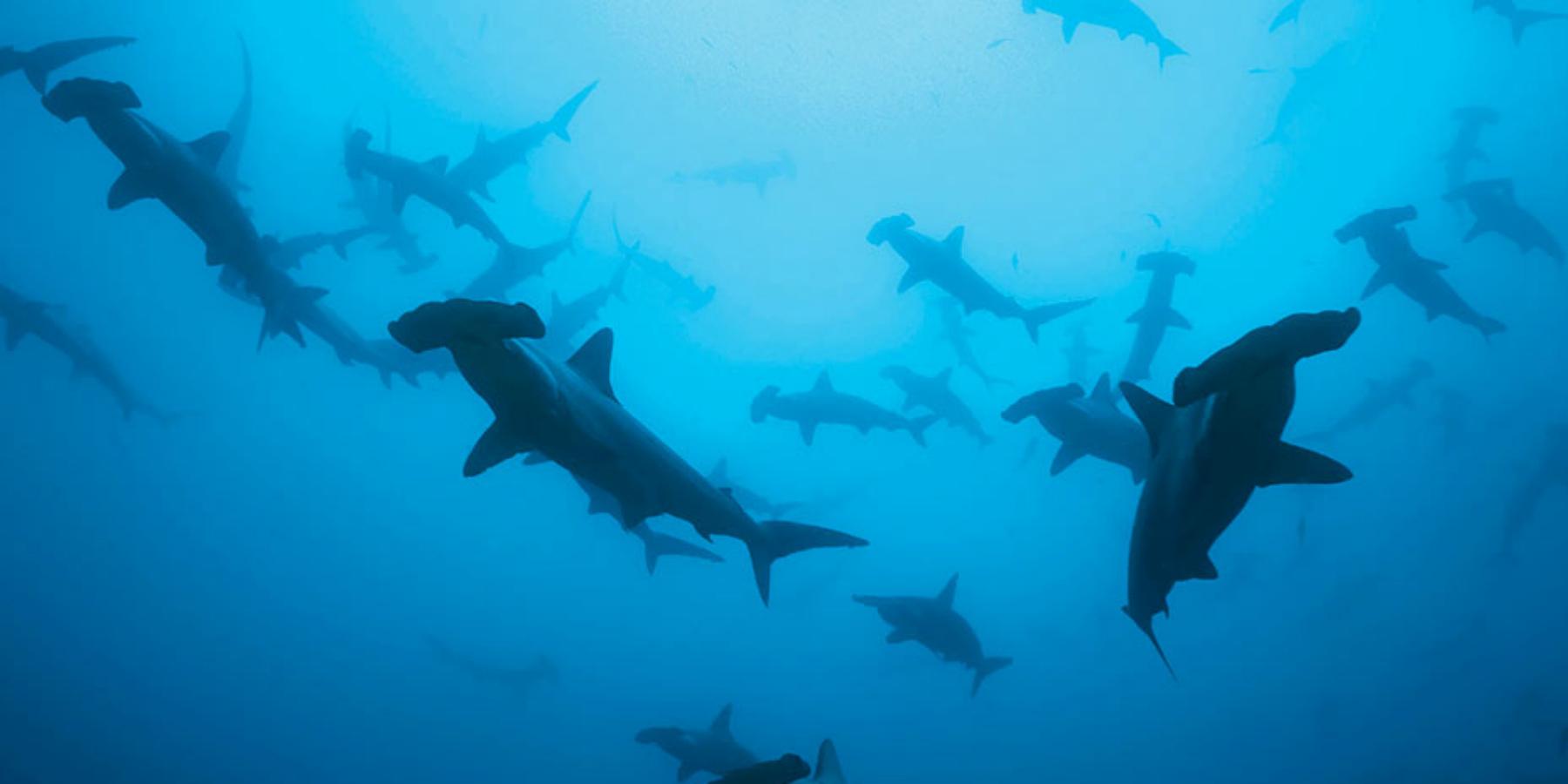 requins marteaux - Une croisière au Soudan sur les traces des requins