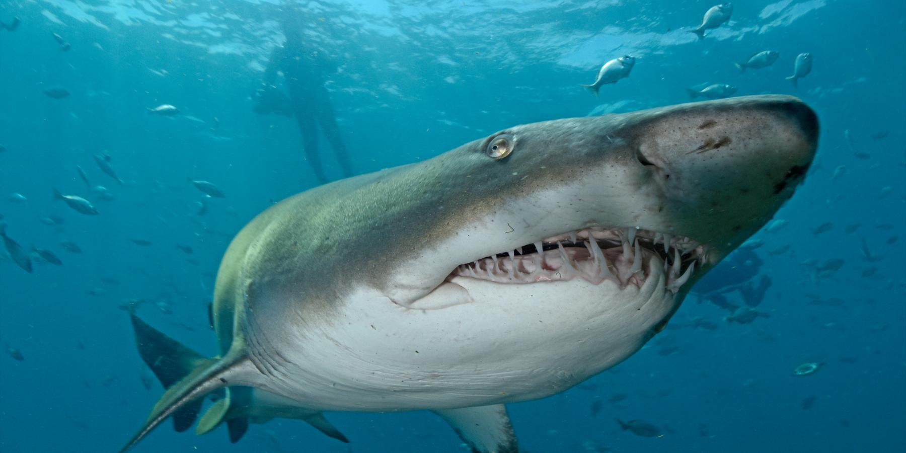 requins taureauxb - Vidéo : concentration exceptionnelle de requins taureaux en Afrique du Sud