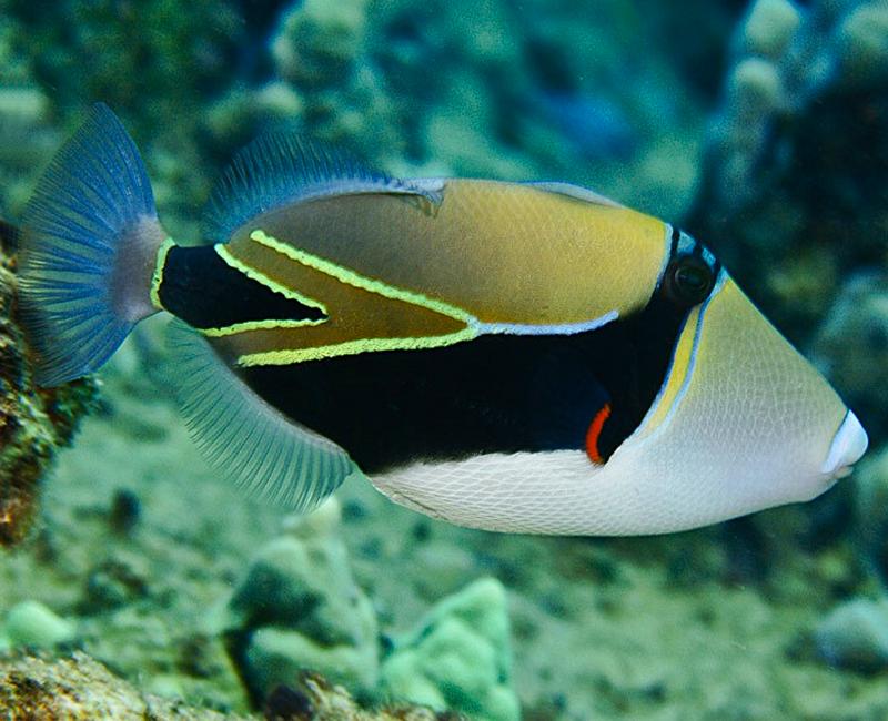 """Le humuhumunukunukuapua's, poisson officiel d'Hawaï. Son nom signifie """"nez de cochon"""". ©DR"""
