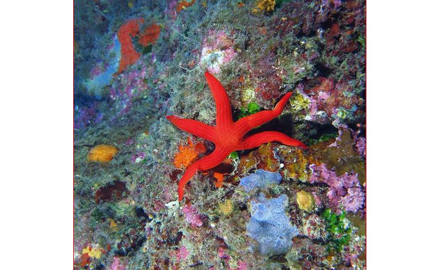 étoile de mer rouge © Michel Sagrandi