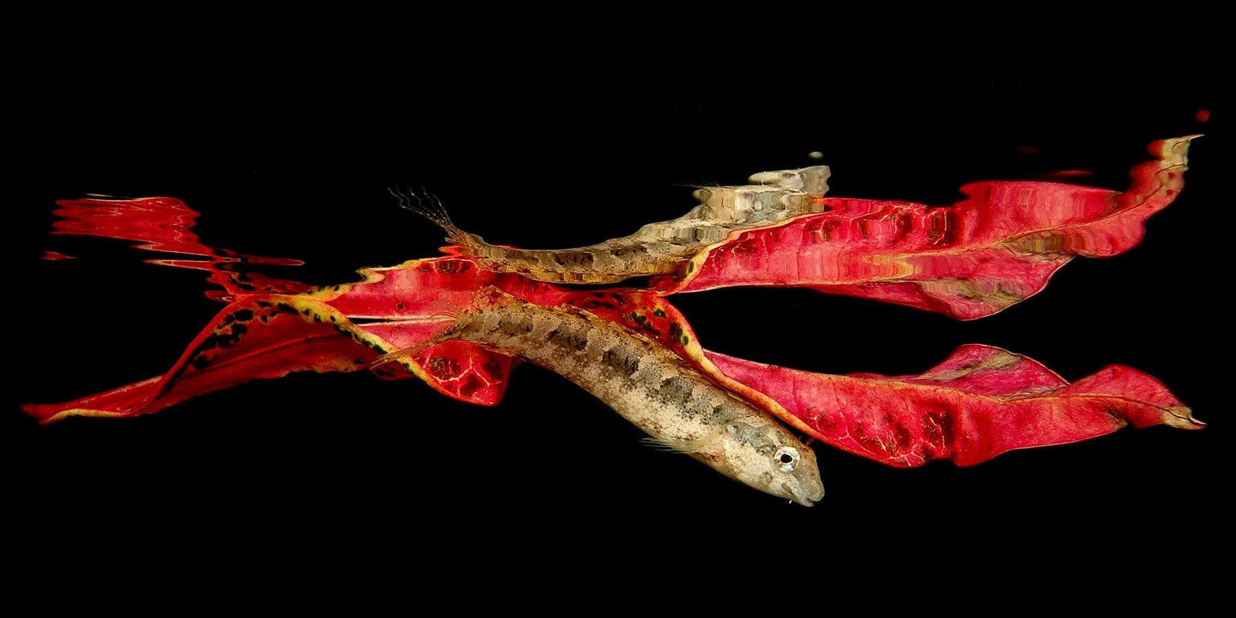 gobie sous feuille copyright Jack Berthomier - 7ème festival de l'image sous-marine de Nouvelle-Calédonie