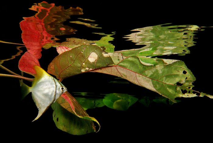 monodactylus Jack Berthomier 700x470 - 7ème festival de l'image sous-marine de Nouvelle-Calédonie