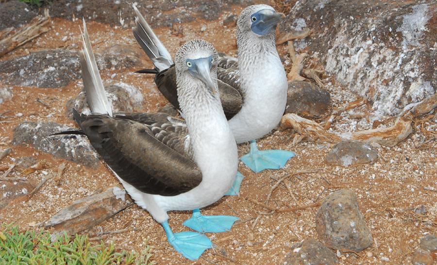 Fous à pieds bleus des Galápagos © Nicolas Barraqué