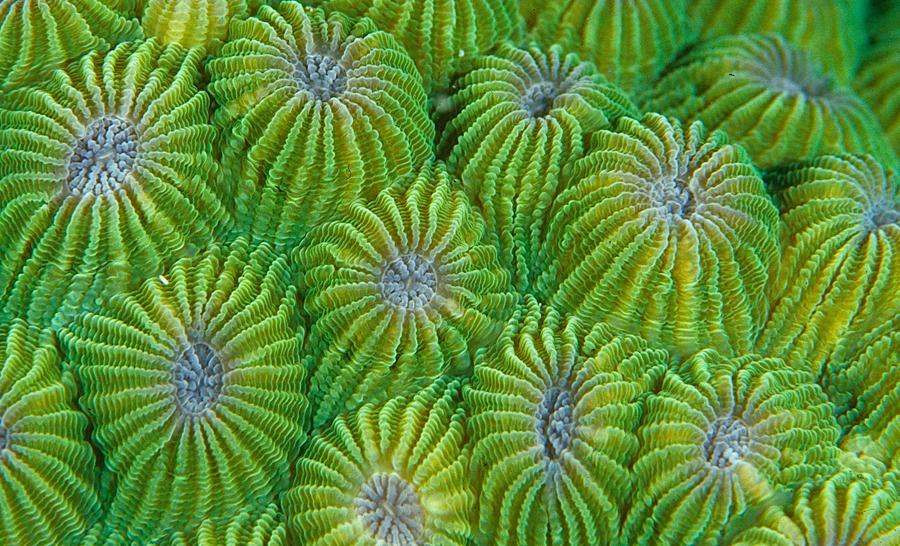corail rayonnant © Alain SOUAN