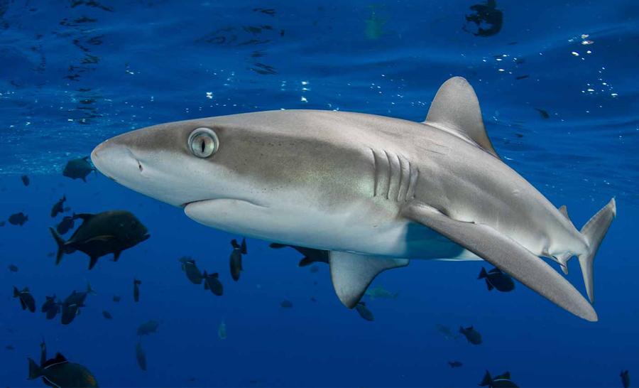 Requin des Galápagos © Ellen Cuylaerts