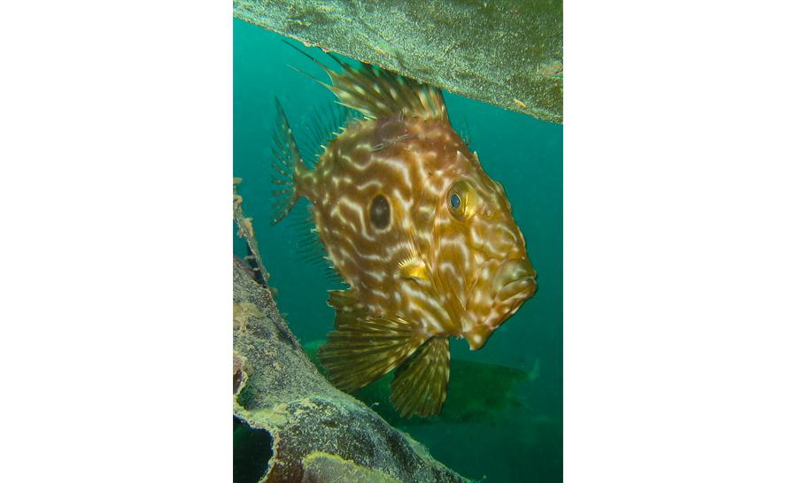2ème catégorie compact dans les eaux britanniques : Paula Bailey du Royaume-Uni avec 'John Dory in the weed' © Paula Bailey/UPY2017