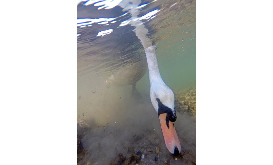 3ème catégorie compact dans les eaux britanniques : Ian Wade du Royaume-Uni avec 'Mute Swan feeding underwater' © Ian Wade/UPY2017