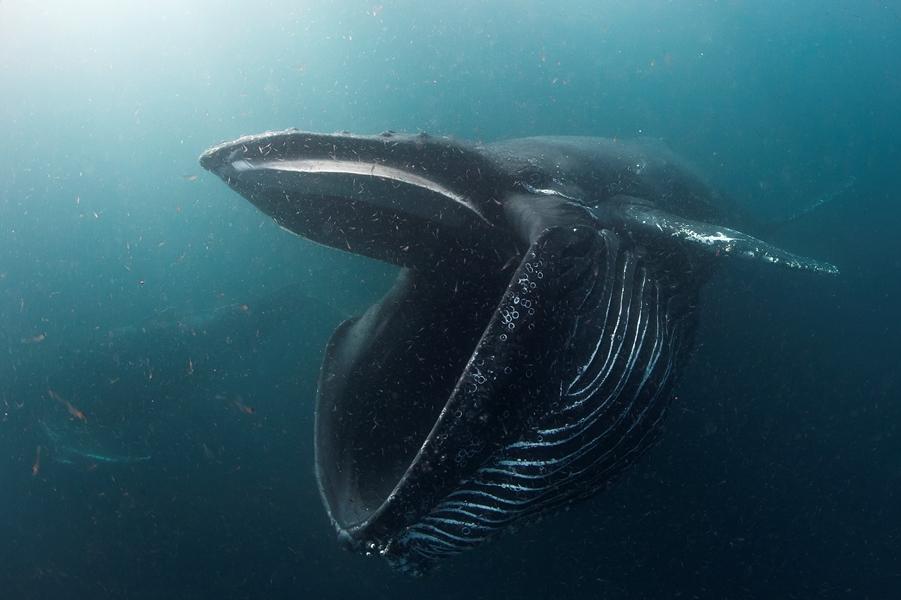 2ème catégorie comportement : Jean Tresfon d'Afrique du Sud avec 'Humpback whale feeding on krill' © Jean Tresfon/UPY2017