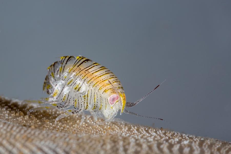 1er catégorie macro dans les eaux britanniques : Matt Doggett du Royaume-Uni avec 'Amphipod shrimp, Iphimedia obesa' © Matt Doggett/UPY2017