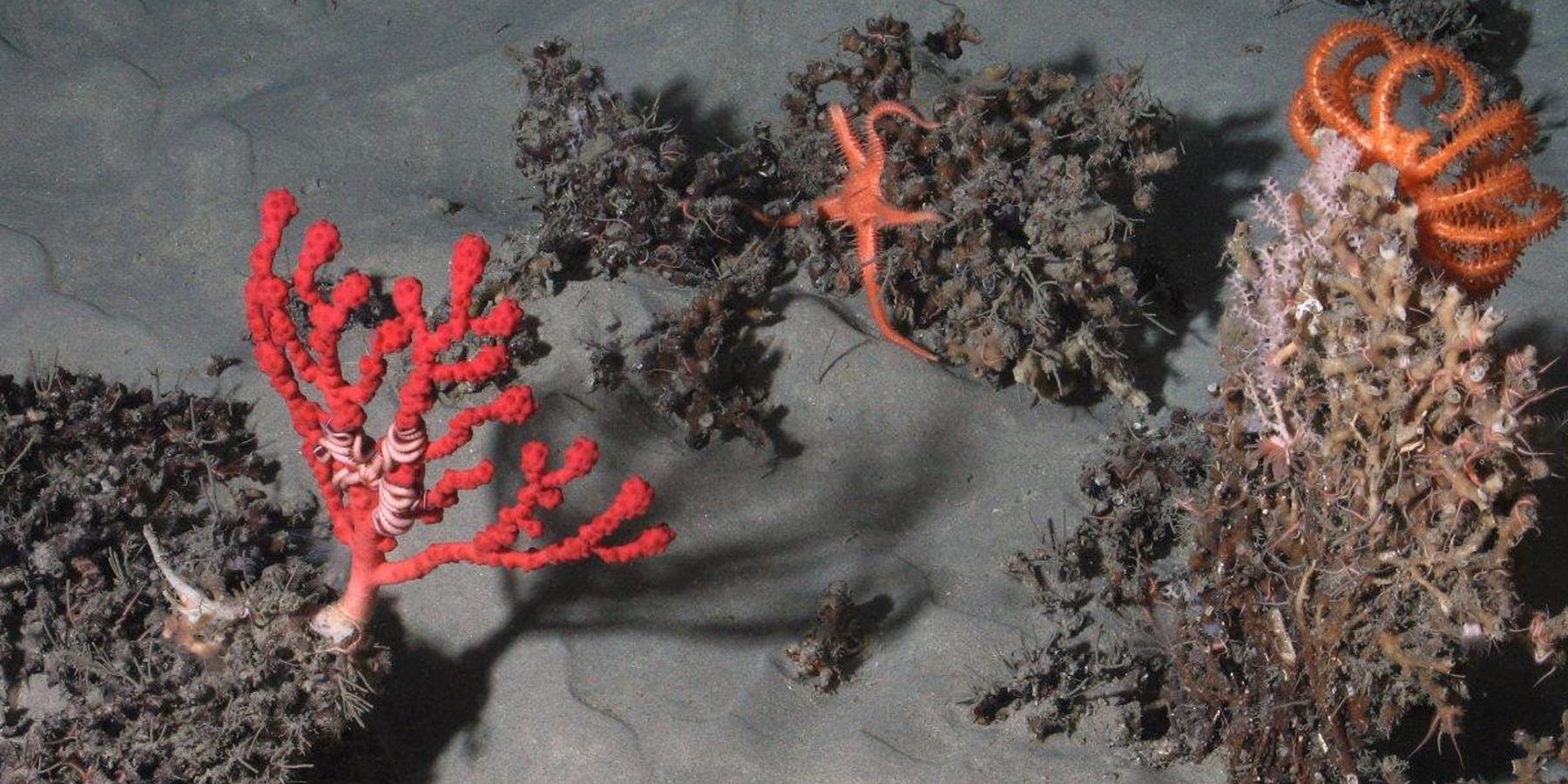 coraux froids - Les canyons sous-marins, des réservoirs de vie menacés
