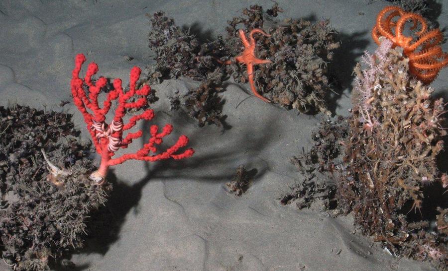 À 1545 m de profondeur, dans le canyon de Lampaul du golfe de Gascogne, des coraux d'eau froide (Solenosmilia variabilis) fournissent un habitat pour des gorgones, des ophiures et des étoiles de mer. @Ifremer / BobEco 2011.