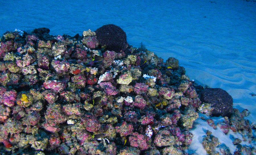 Algues calcaires sur le récif corallien de l'Amazone © Greenpeace