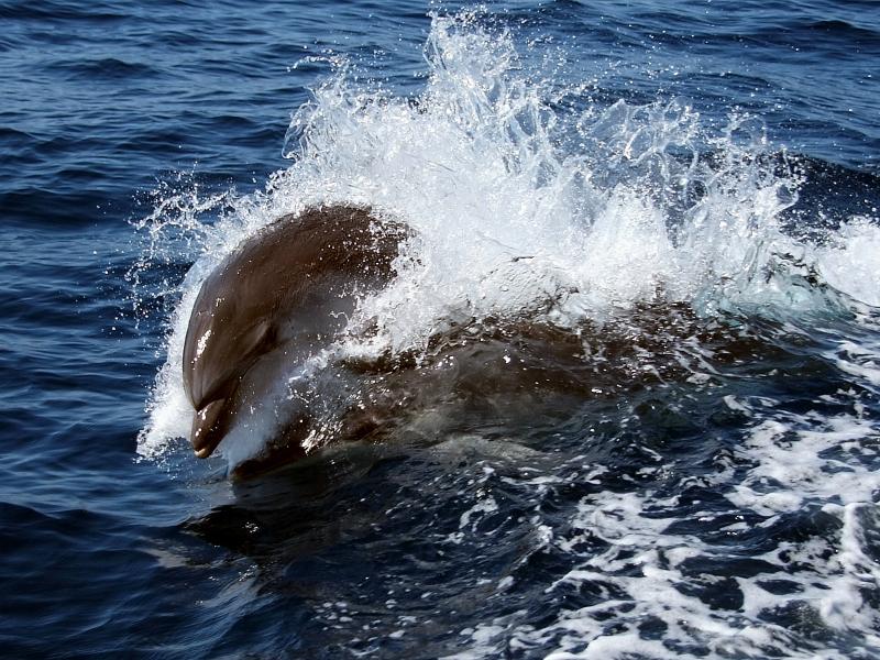 Un dauphin saute en surface ©DR