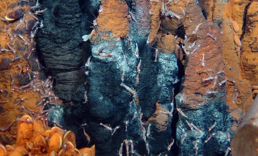 A 2000 mètres de profondeur il y a bien plus de vie qu'on pourrait le penser. Assemblage de moules et crevettes Mirocaris fortunata sur la dorsale médio-atlantique © Ifremer / Momar 2008