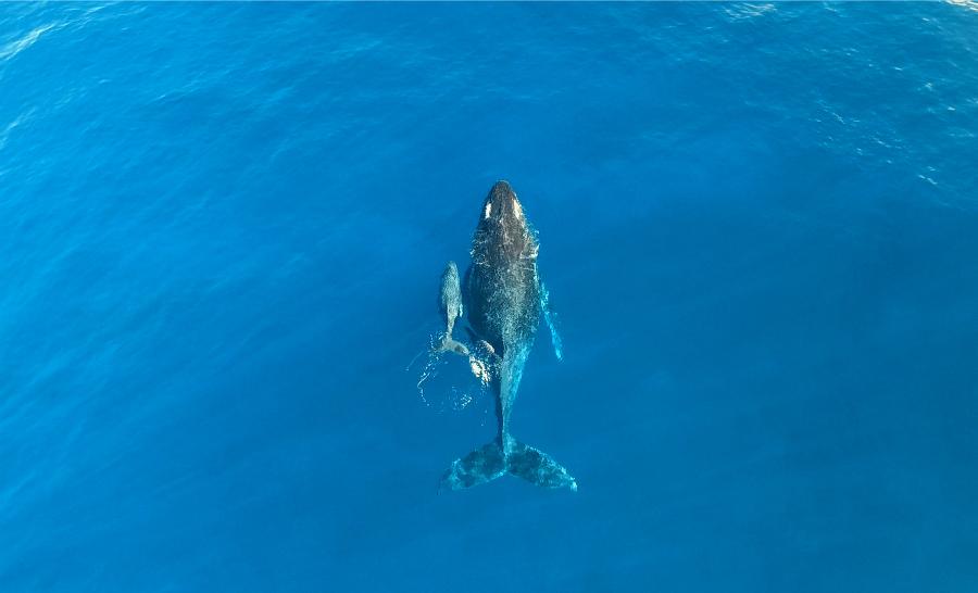 Baleine et son baleineau filmés depuis un drone ©Antoine Mettra