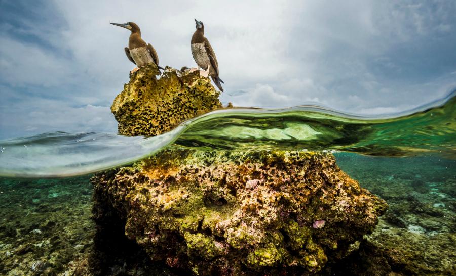 Les tortues, les requins mais aussi les oiseaux ont trouvé à Tubbataha leur habitat idéal - Exposition Tubbataha ©David Doubilet