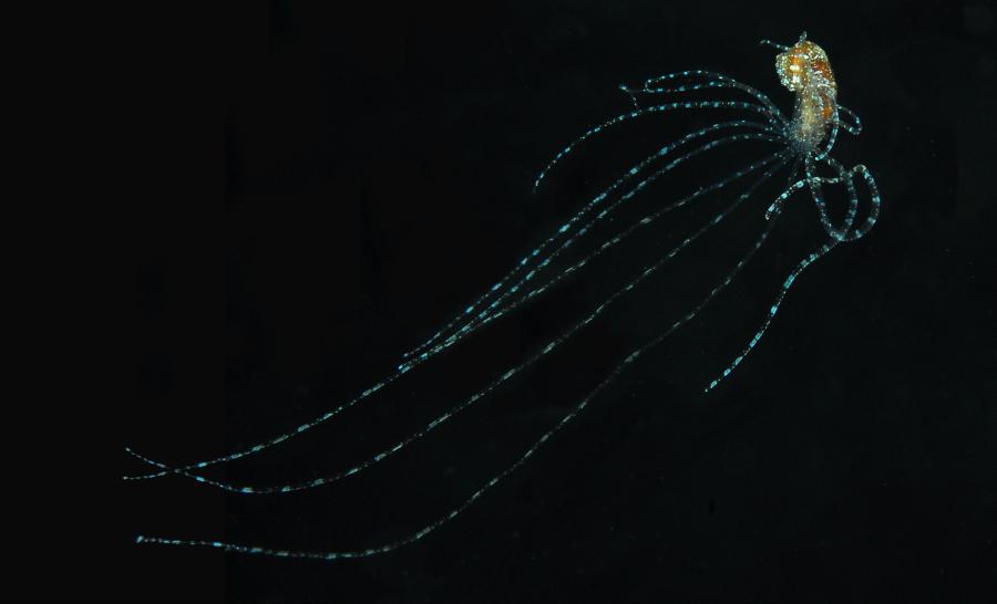 Photo d'un juvénile d'octopus en pleine nuit. © Nicolas Barraqué