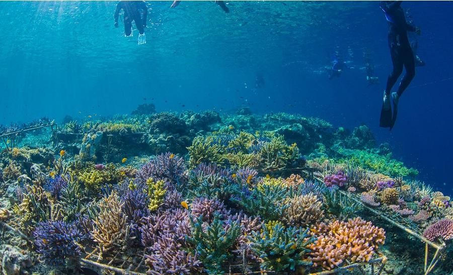 Le résultat impressionnant de plusieurs mois de restauration des récifs coralliens à Komodo © Coral Guardian