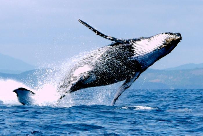 Observez le ballet majestueux des baleines à NosyBe © Erwan Boulvais