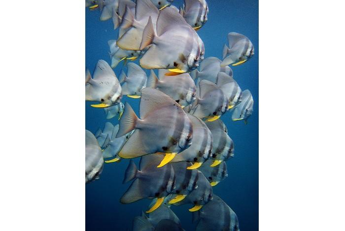 Un banc de platax (Platax teira) © Phi Phi Diving