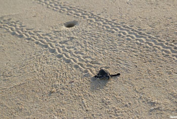 Rencontre avec de jeune tortues sur la plage du Natura Lodge ©Hdoi360