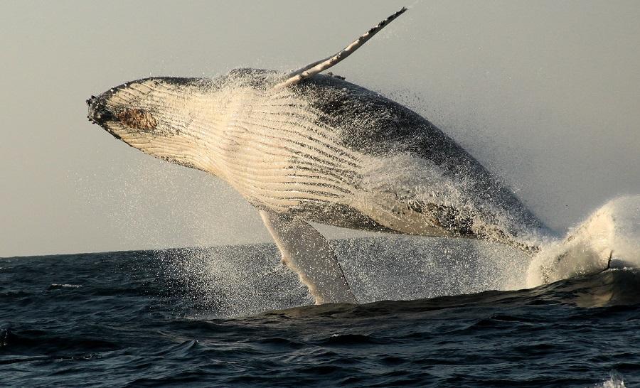 Les sardines run sont l'occasion idéale pour observer requins, dauphins, oiseaux marins mais aussi quelques baleines. © Gilles Diraimondo