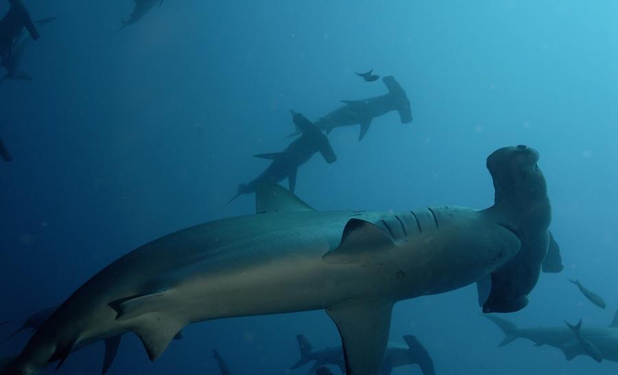 Banc de requins marteaux dans la mer de Cortez © Nicolas Barraqué