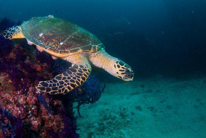 Tortue dans les eaux de la péninsule du Musandam ©DR