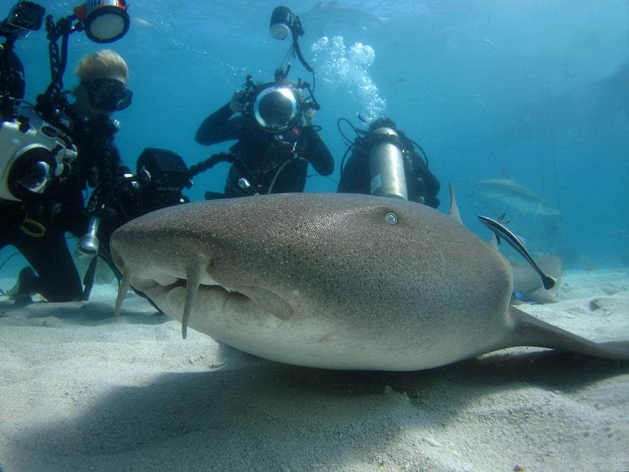 Requin nourrice se laissant approcher par une myriade de photographes sous-marins ©Olivier Clot Faybesse