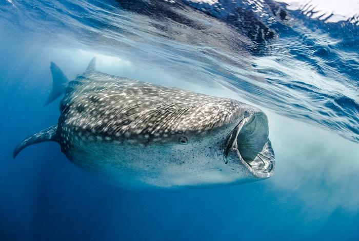1er duo mer - Requin baleine (Rhincodon typus), Golfe du Mexique © Fabien Michenet