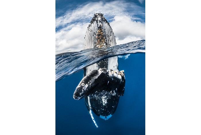 3ème duo mer - Baleine à bosse, île de Vava'u, Tonga © Greg Lecoeur
