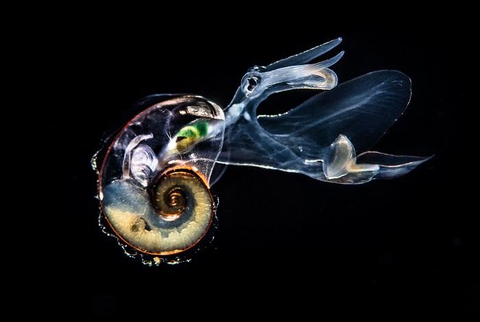 3ème duo mer - Mollusque hétéropode Atlanta, Anilao, Philippines © Greg Lecoeur