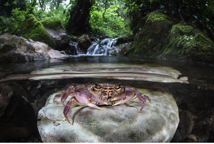 3ème eau douce - Crabe de rivière (Potamon fluviatile), La Spezia, Italie © Massimo Zannini